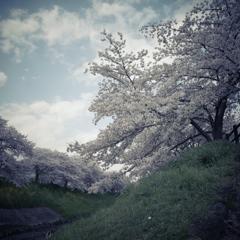 桜スナップ1
