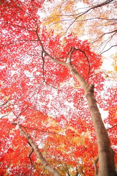 天まで紅葉