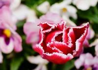 SONY ILCE-7Rで撮影した(春の花壇から)の写真(画像)