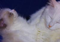 SIGMA SIGMA SD1 Merrillで撮影した(うたたね)の写真(画像)