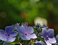 あじさいの開花
