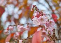 SIGMA SIGMA SD1 Merrillで撮影した(桜の紅葉)の写真(画像)