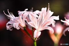花弁の輝き