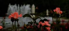前衛の薔薇