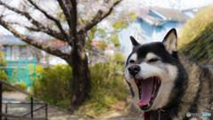 愛犬と桜②