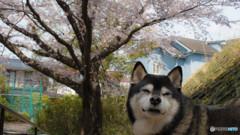 愛犬と桜①