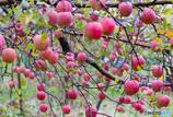 林檎の国から~晩秋編~Ⅲ