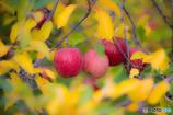 林檎の国から~晩秋編~