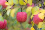 りんごのキモチ
