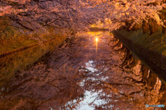やっと桜。。