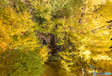 葉に守られる大イチョウ