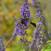 ラベンダーとクマバチ