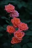 北斗七薔薇