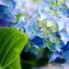 『 紫陽花は、』1