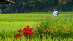 『 近づく稲刈り 』