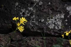石垣とつわぶきの花の似合う町Ⅲ