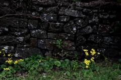 石垣とつわぶきの花の似合う町Ⅱ