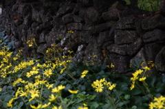 石垣とつわぶきの花の似合う町