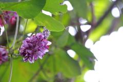 葛の花 ⅱ