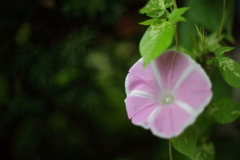 オールドレンズで朝の庭 壱