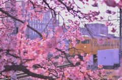 緋寒桜、満開。 ~電車を添えて~