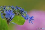 ガクアジサイ咲く