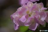 乾いた紫陽花