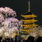 東寺 五重塔と不二桜