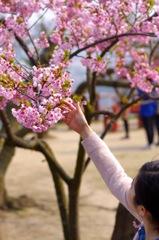桜と耳飾り