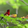 赤い妖精 Red Angel