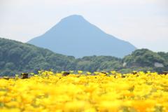 開聞岳とお花畑