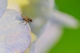 とても小さな蠅 Ⅱ