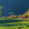 CANON Canon EOS 6Dで撮影した(杉と紅葉と牛達と)の写真(画像)