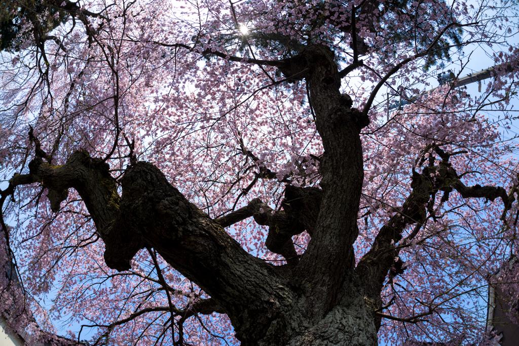 大竹地区の枝垂れ桜 Ⅳ