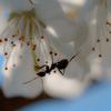 サクランボと蟻