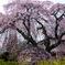 大竹地区の枝垂れ桜 Ⅰ