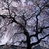 大竹地区の枝垂れ桜 Ⅴ