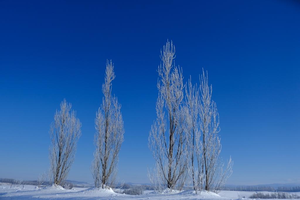 樹氷となったポプラのこどもたち