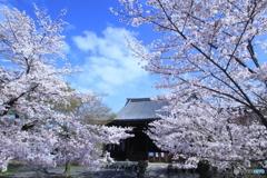2016桜(立本寺)