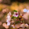 撮り納めの桜
