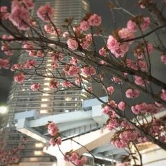 途切れたレールと八重桜。