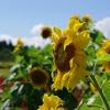 紅葉コキアと向日葵