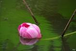 水面に横たわる蓮の花
