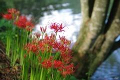 庄川沿いに咲く彼岸花