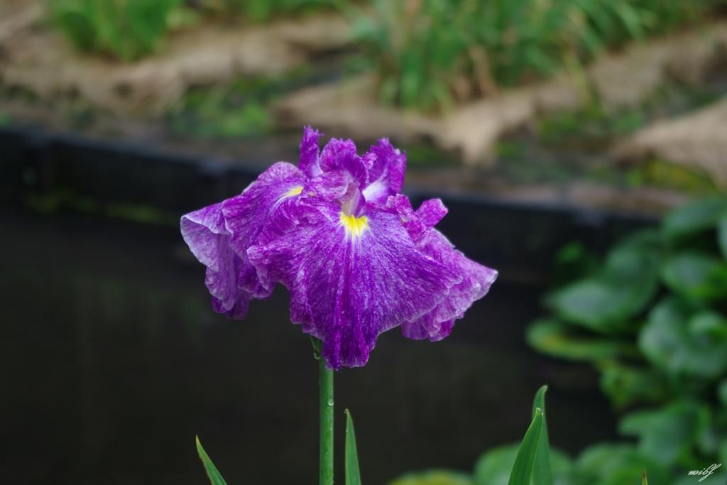 雨あがりの花菖蒲園