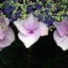 雫を纏う紫陽花