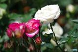 薔薇:赤と白