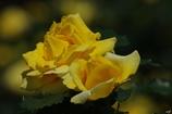 薔薇:黄色