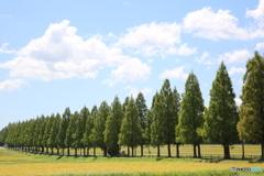 マキノ高原メタセコイア並木道