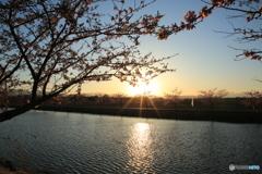 夕暮れの河津桜